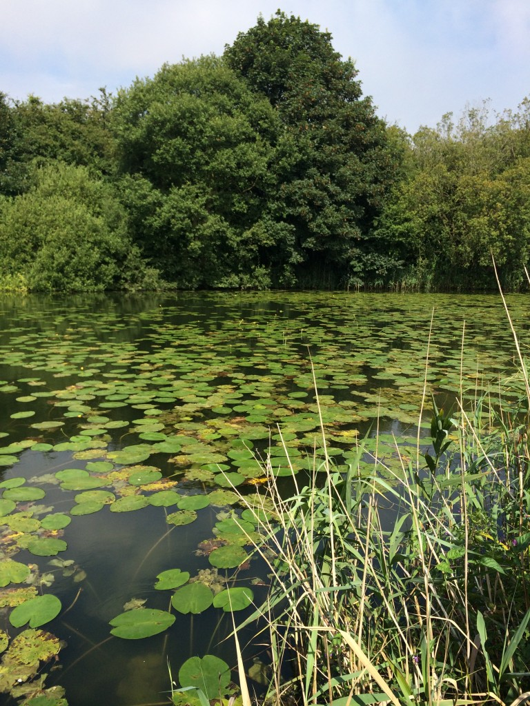 The lilly pads at Brandesburton 3&4, they look lovely but don't help the fishing. Fish can regularly be seen crashing in these towards the trees - impossible to get to!